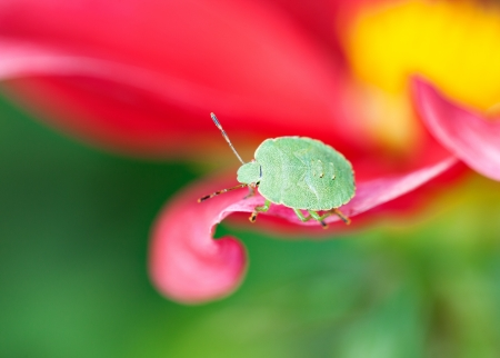 Final-stage nymph of green shield bug  Palomena prasina  crawling along the pink petal, macro, shallow dof photo