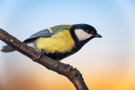 Titmouse (Parus major) sitting on branch, side view, copy space photo