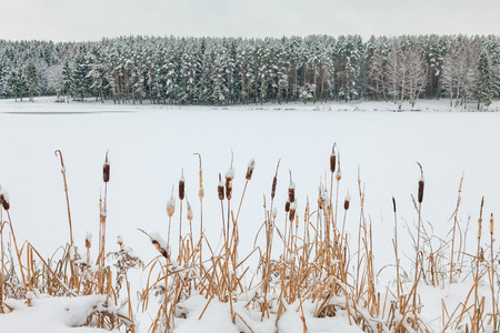 Winter wonderland. Dried cattails covered with snow and fir tree forest on the other shore of a frozen lake.