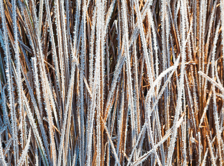 hoar: Grass covered with hoar frost, close up