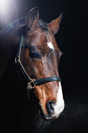 Beautiful bay horse portrait on dark background
