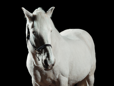 Portrait of a white horse, isolated on black background