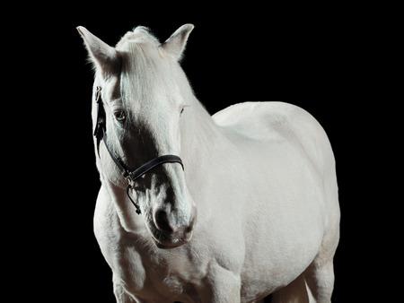 horse background: Portrait of a white horse, isolated on black background