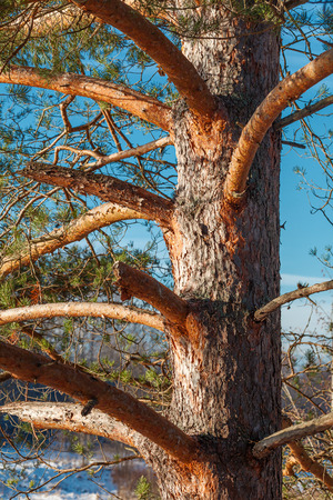 barks: Trunk of a pine tree outdoors, close up