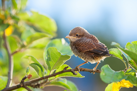 communis: Baby whitethroat sitting on the branch; copy space. (Common Whitethroat � Sylvia communis)