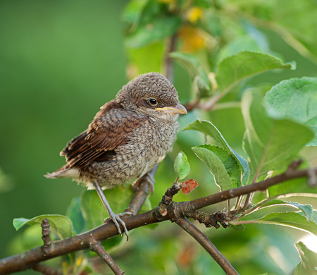 communis: Baby whitethroat sitting on the branch, leaves on the background (Common Whitethroat � Sylvia communis)
