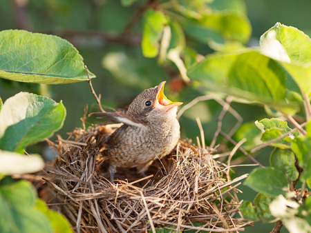 Hungry and abandoned baby bird waiting for its mother in the nest (Common Whitethroat – Sylvia communis)