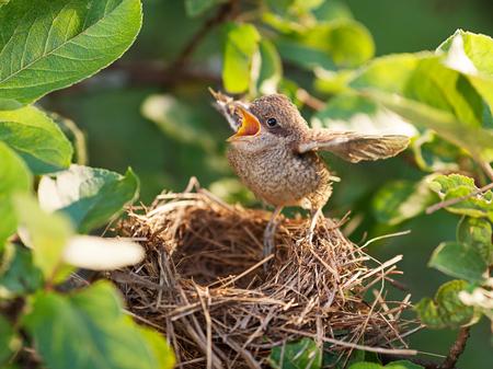 Pájaro bebé sentado en el borde del nido y tratando de volar (Whitethroat común - Sylvia communis) Foto de archivo