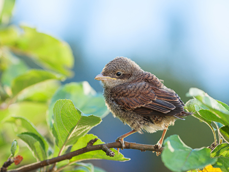 communis: Baby whitethroat sitting on the branch (Common Whitethroat � Sylvia communis)