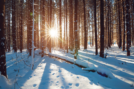 snow forest: Sunbeams breaking through winter pine tree forest, straight blue shadows of trees on fluffy snow. Stock Photo