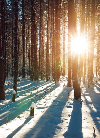 breaking through: Sunbeams breaking through winter pine tree forest, straight blue shadows of trees on fluffy snow. Stock Photo