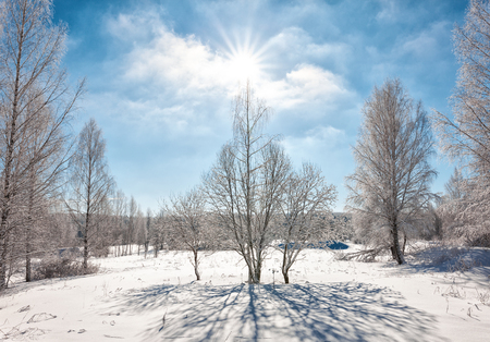 glistening: Snowcapped trees in the glistening sunshine, bright winter day