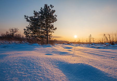 winterly: Winter landscape with pine tree in field at sunset