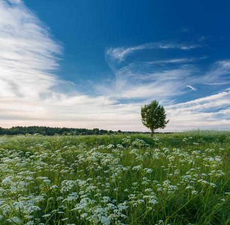 flowering field: Summer landscape with tree in flowering field Stock Photo