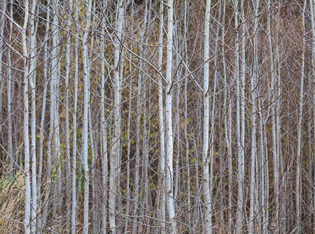 foliar: Trunks of young aspens, close up Stock Photo