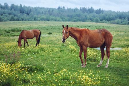 grazing: Two horses grazing in field