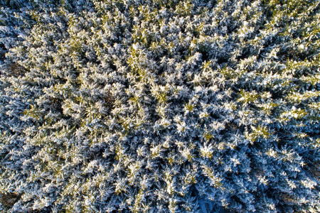 Aerial view of snow covered coniferous forest. Plenty of spruces in sunlight.