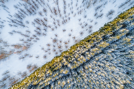 Aerial view of forest plantations. Rows of spruces and pines next to deciduous trees at winter Stockfoto