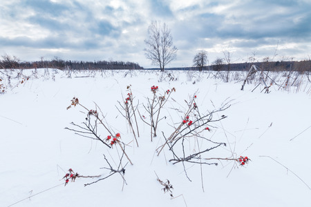 Field covered with snow, dried herbs and bushes peeking out of the snow. Some wild rose bush with red rosehips on foreground Stockfoto
