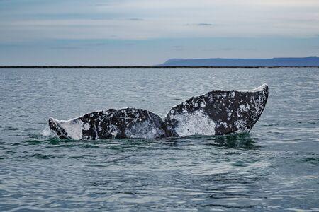 Gray whales tail above the water surface at San Ignacio Lagoon in the Sea of Cortés, Baja California Фото со стока