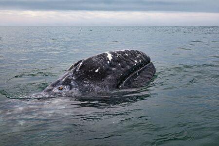 Gray whale (Eschrichtius robustus) at San Ignacio Lagoon in the Sea of Cortés, Baja California
