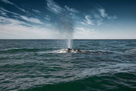 Gray whale surfacing in the Sea of Cortés near Guerrero Negro, Baja California