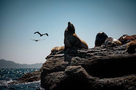 California sea lions (Zalophus californianus) resting on the rocks of Isla Coronado. Baja California, Gulf of California.