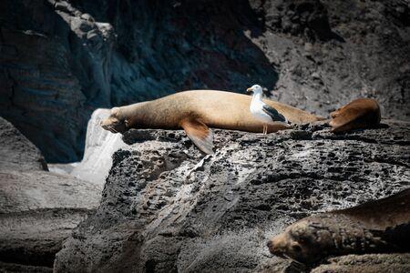 California sea lions (Zalophus californianus) sunbathing on the rocks of Isla Coronado. Baja California, Gulf of California.