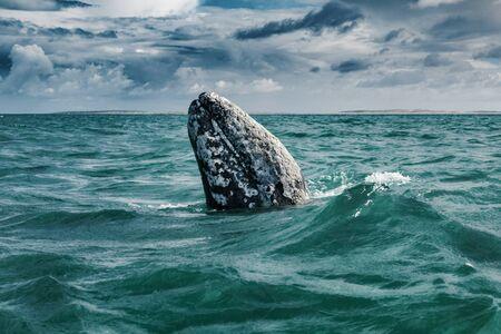 Gray whale (Eschrichtius robustus) surfacing  at Guerrero Negro in the Sea of Cortés, Baja California Фото со стока
