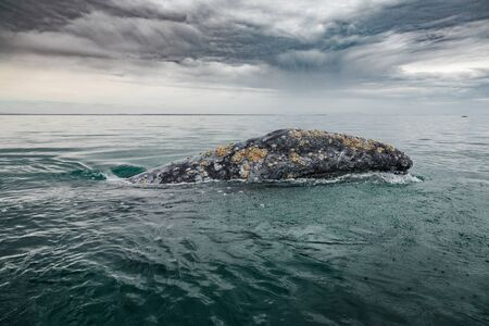Gray whale (Eschrichtius robustus) surfacing at San Ignacio Lagoon in the Sea of Cortés, Baja California