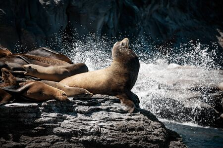 California sea lions (Zalophus californianus) sunning on the rocks of Isla Coronado. Baja California, Gulf of California.