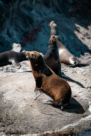 California sea lions (Zalophus californianus) on the rocks of Isla Coronado. Baja California, Gulf of California.