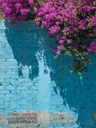 Blooming purple bougainvillea over the painted blue brick wall, copyspace