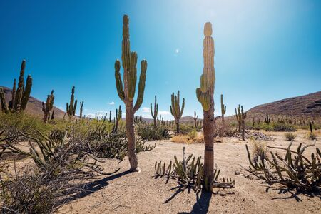 Mexican desert with cacti and succulents under heating sun, La Paz, Baja California, Mexico