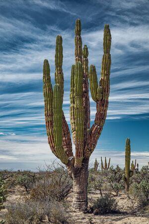 Mexican giant cactus in desert under fascinating sky, San Ignacio, Baja California, Mexico