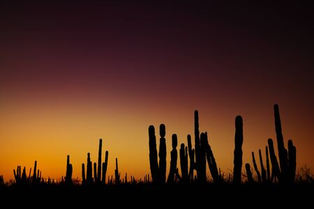 Sunrise at mexican desert with silhouettes of cactuses and succulents against vivid gradient sky, near Loreto, Baja California, Mexico