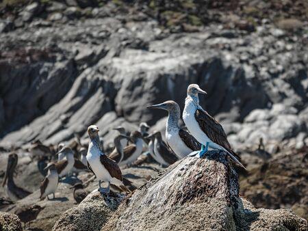 Boobies on the rocks of Isla Coronado. Baja California, Gulf of California.