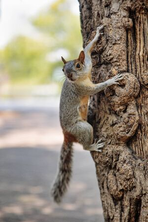 Fluffy grey squirrel in Mexican park Chapultepec, Mexico City