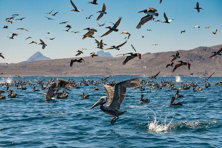 Flock of brown pelicans on feeding.  Baja California, Gulf of California, Mexico Imagens