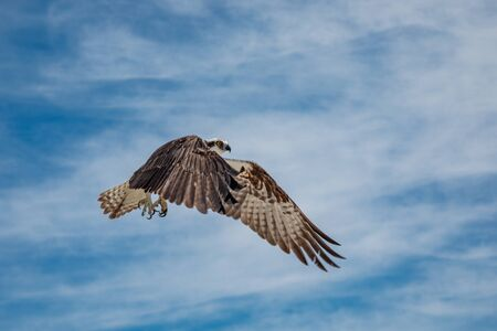 Osprey in flight against blue sky with clouds, Mexico