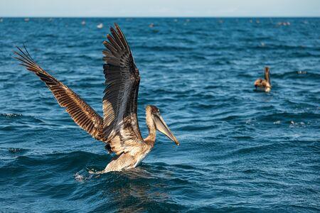 Beautiful brown pelican is taking off from the sea.  Baja California, Gulf of California, Mexico