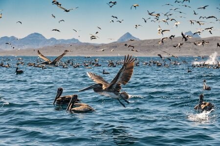Flock of brown pelicans on feeding. Baja California, Gulf of California, Mexico