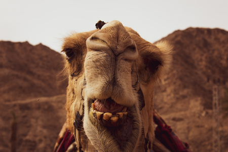 Camel look to camera in Israel . Stock Photo