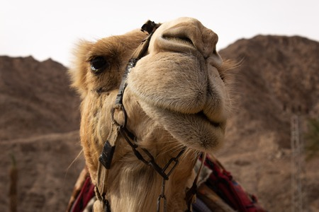 Camel look to camera in Israel . 스톡 콘텐츠