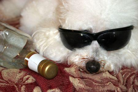 mas: Beau Danger, a Bichon Frise Dog says Ugh No Mas Tequila