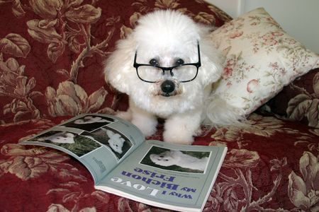 bichon: Beau Danger, a Bichon Frise relaxes on his couch while reading one afternoon. Stock Photo