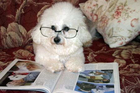 bichon: Fifi Danger, a Bichon Frise relaxes on her couch while reading one afternoon Stock Photo