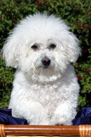 bichon: Fifi Danger, a Bichon Frise says Hello. Stock Photo