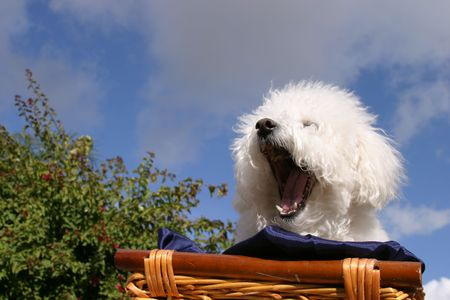 bichon: Fifi Danger, a Bichon Frise yawns in the spring time sun.