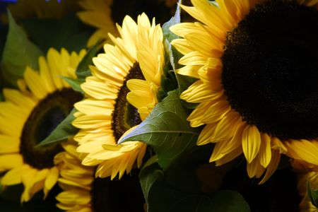 pike place: sunflowes in the morning sun for sale at a farmers market Stock Photo